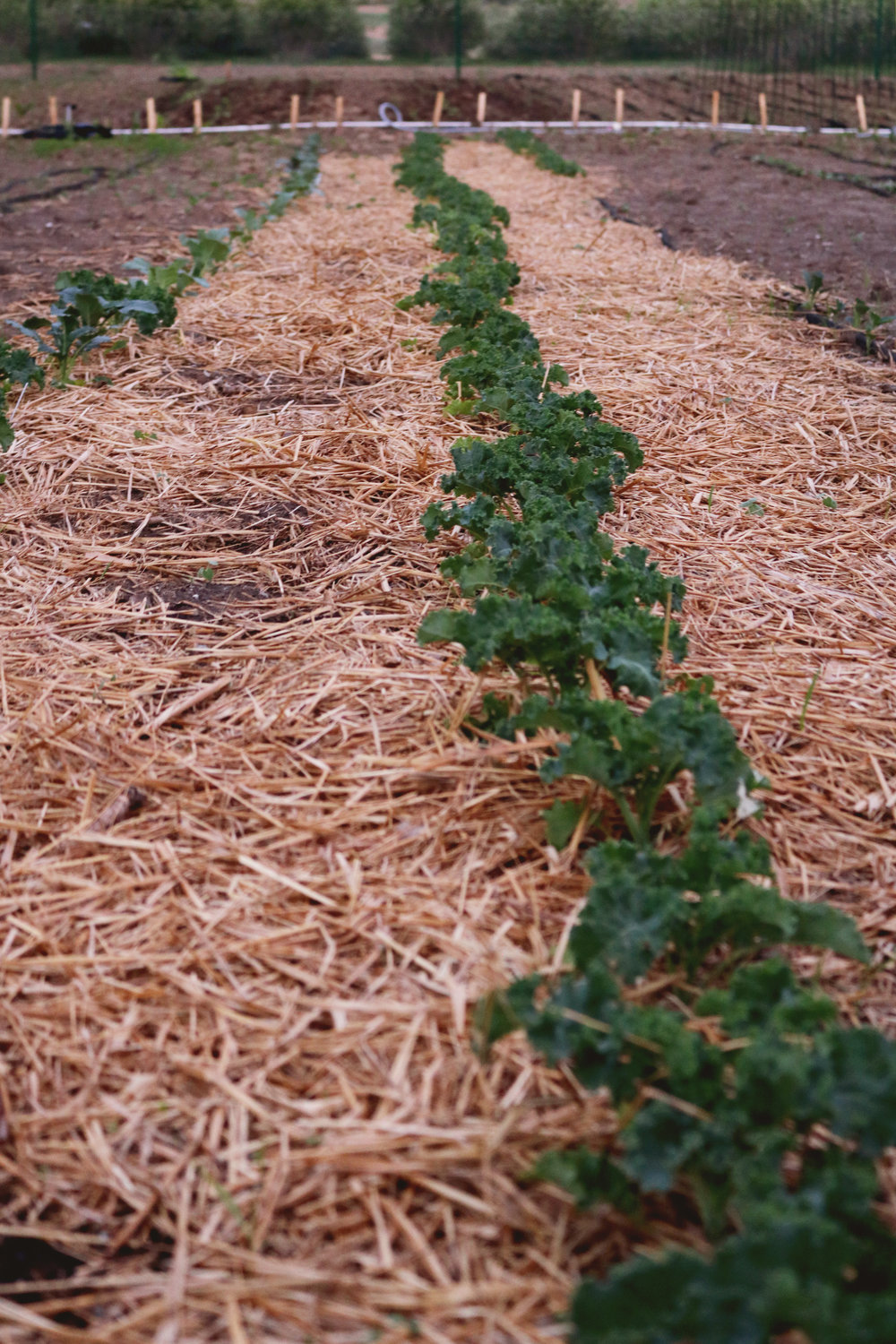 Mulches To Use For No Till Gardening Under A Tin Roof