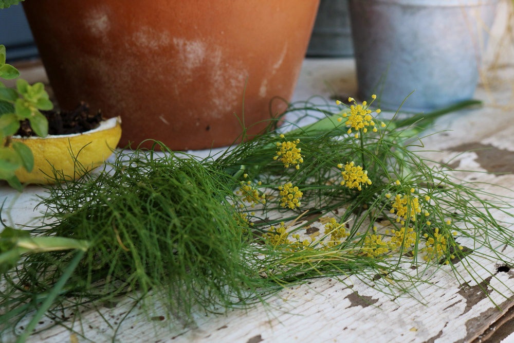 Dill, an Herbal Profile - Under A Tin Roof Blog