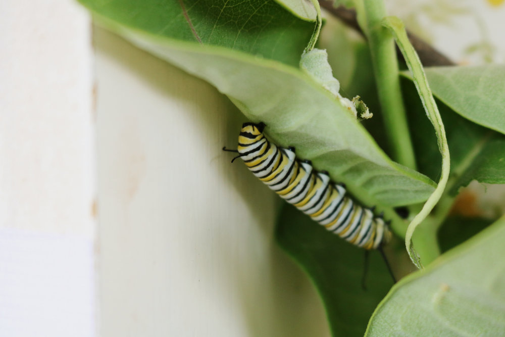 DIY Monarch Habitat and Caring for Caterpillars - Under A Tin Roof Blog