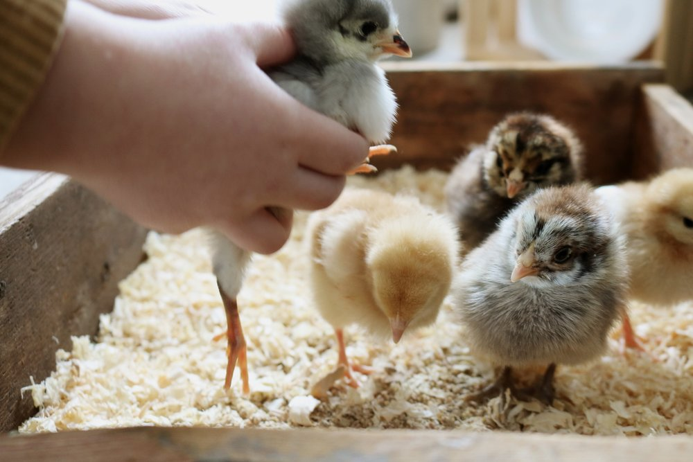 Chick Days Have Arrived! - Under A Tin Roof Blog