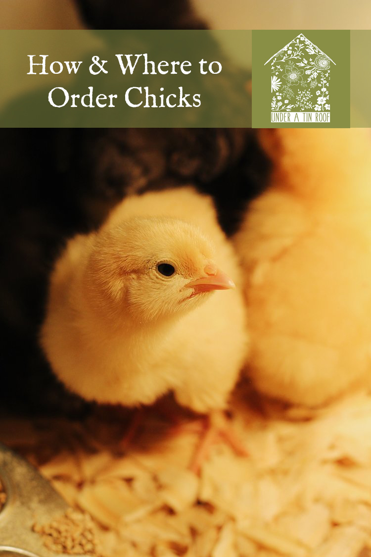 How and Where to Order Chicks - Under A Tin Roof Blog