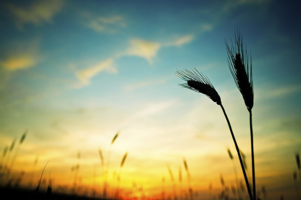 wheat-finalLarge1-e1340311036896.jpg