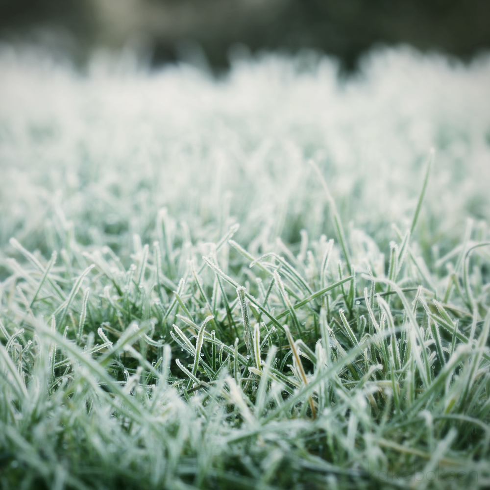 Frozen grass in the winter
