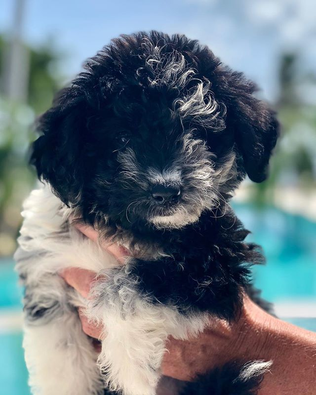 "Meet Islamorada Pools new salty dog.  Albury Anna ""Rhett"" Dillon. She is a fiery 8 week old Aussiedoodle and we are so excited to have her join our family! #aussiedoodle #islamoradapools"