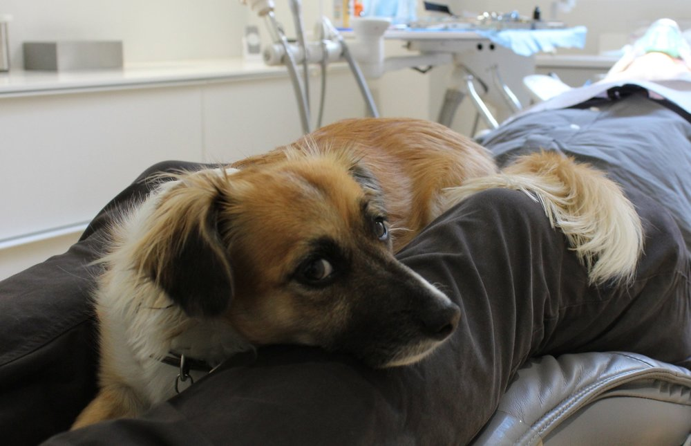 "The Power of Pet Therapy in the Workplace  - ""Luna has become an intrinsic part of treatment at The Dental Boutique. During treatment, she lies down in the patient's lap, and doesn't move until the end of the appointment, undisturbed by the sounds of dentistry. She knows when the x-ray apron comes out that she must leave the room, and returns when she hears it being put away,"""