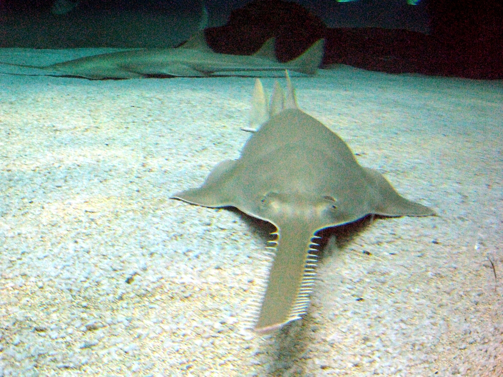 """Sawfish genova"" by Flavio Ferrari - [1]. Licensed under CC BY-SA 2.0 via Wikimedia Commons - https://commons.wikimedia.org/wiki/File:Sawfish_genova.jpg#/media/File:Sawfish_genova.jpg  The author endorses neither me nor my work."