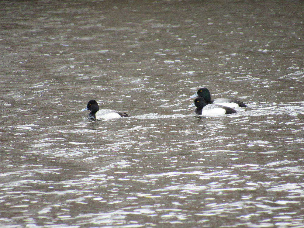 20150320_Lesser and Greater Scaup_1.jpg