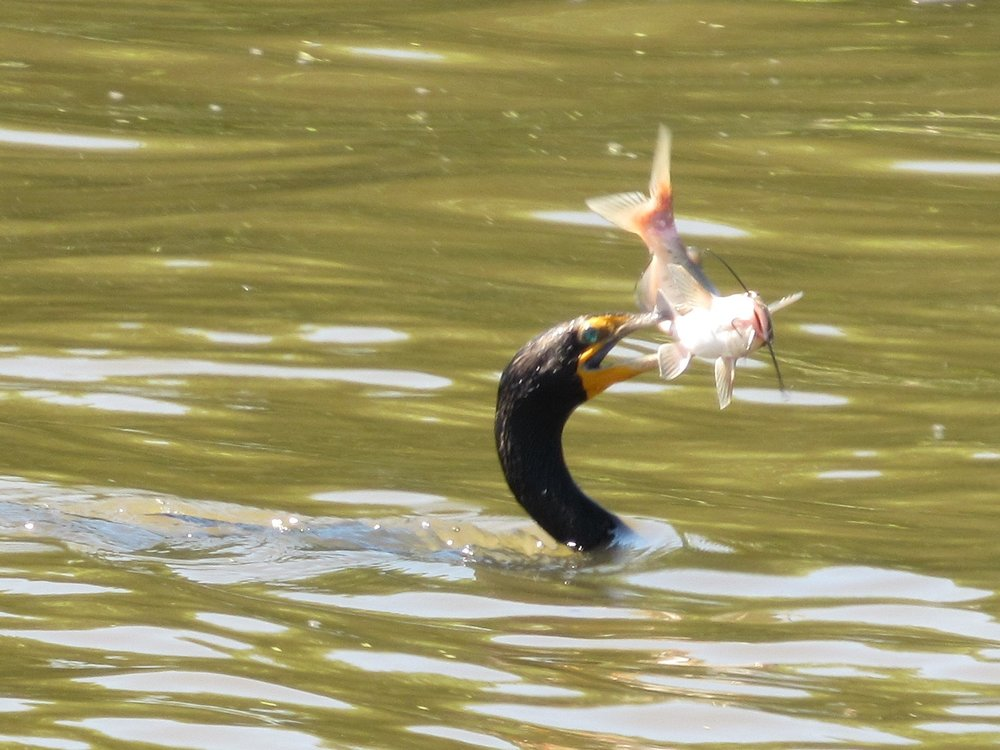 A Double-Crested Cormorant at  Fox River Forest Preserve.