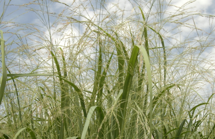 Switchgrass photo: US Dept of Agriculture via Flickr