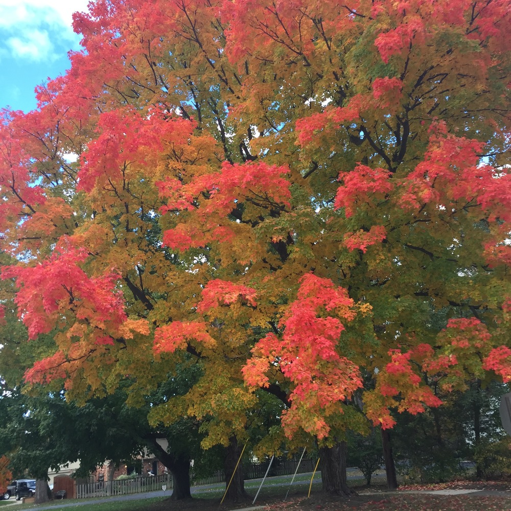 Our favorite tree, right about at its peak (although it continues to surprise us with new colors everyday).