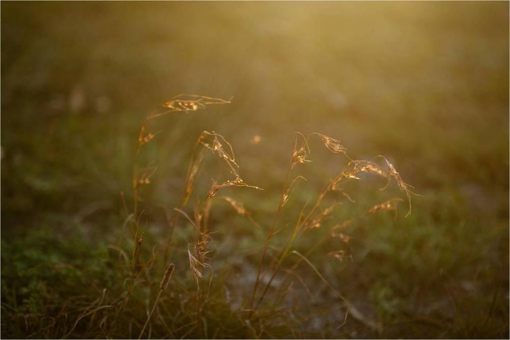 Kangaroo Grass; Photographer: Ed Sloane
