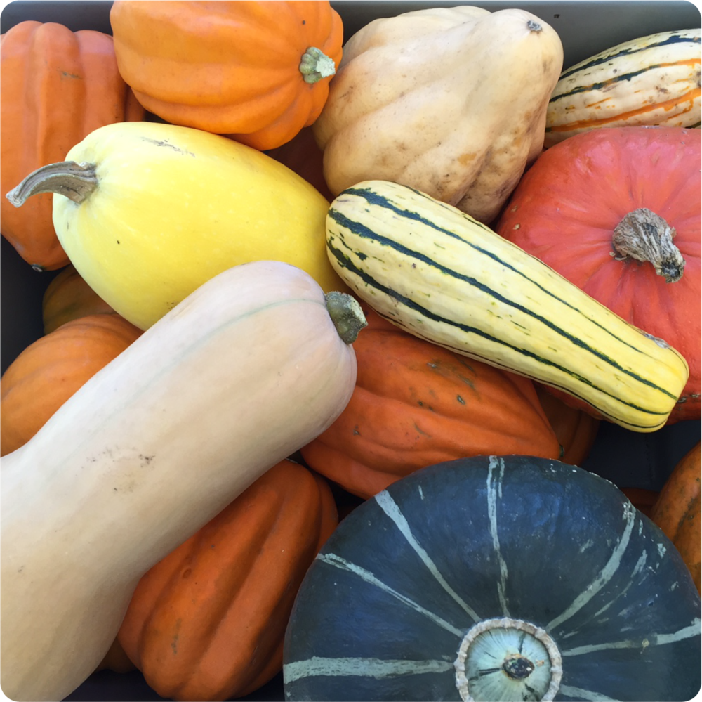 SQUASH...We have the fall favorites – spaghetti, acorn, butternut & delicata.