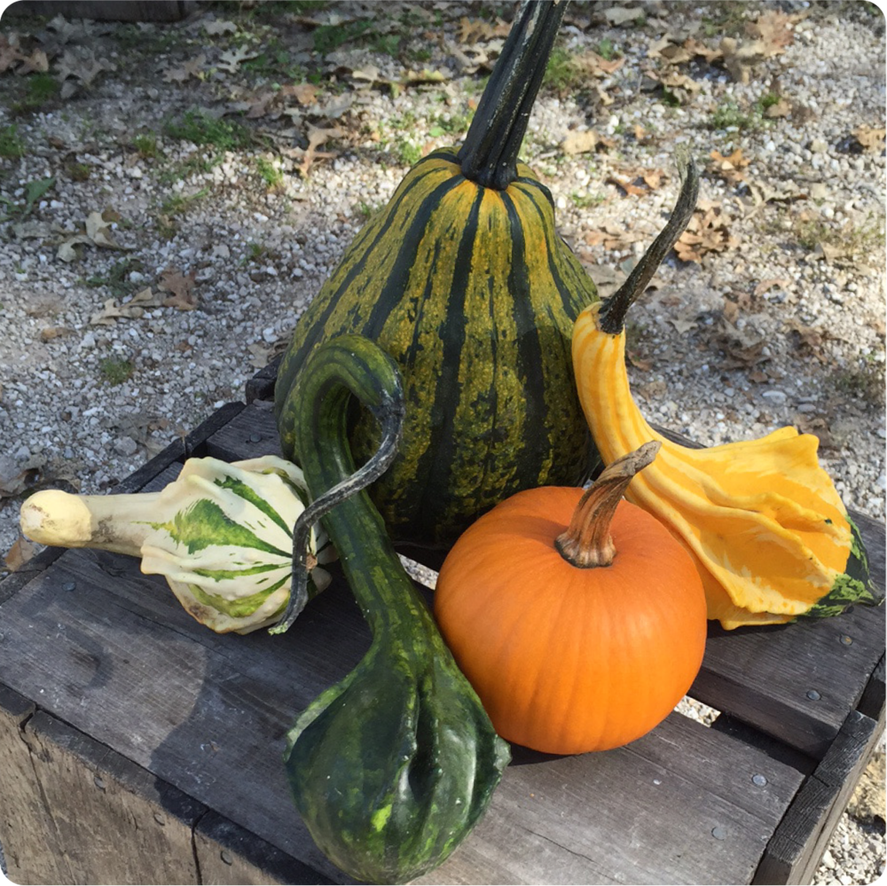 GOURDS..We have a wide assortment of gourds for all your fall decorating.