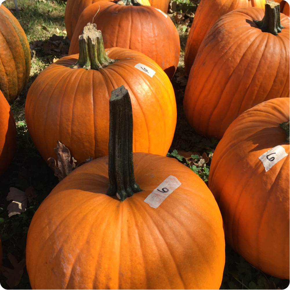 PUMPKINS...We've got pumpkins! Pick out your perfect pumpkin for carving, decorating or baking.
