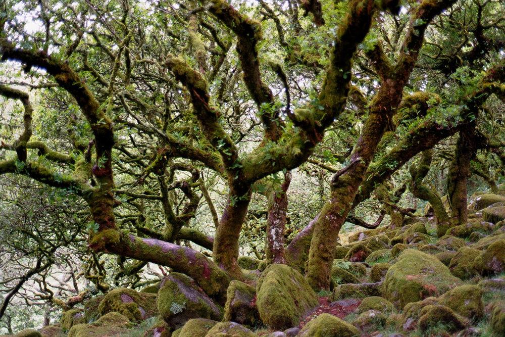 alice-connew-wistmans-wood-2.jpg