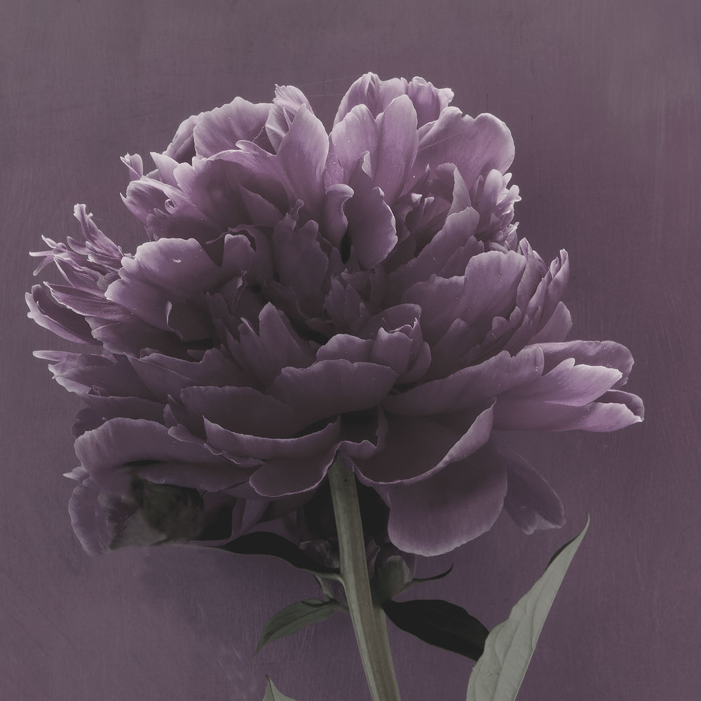 PEONIES 11a version1 2016