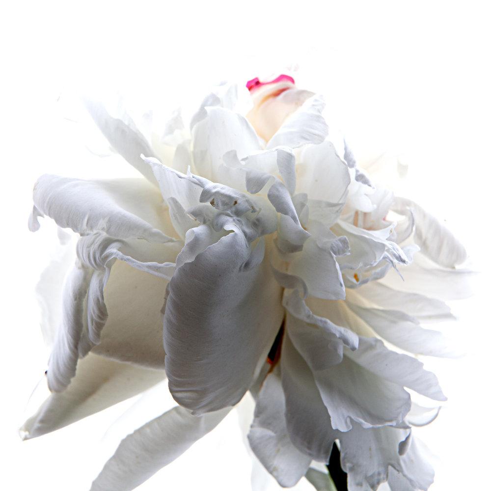 Flower White Peony 3, 2017
