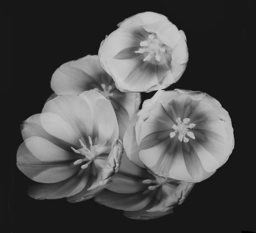 Flower: Tulip 6inv. 2017