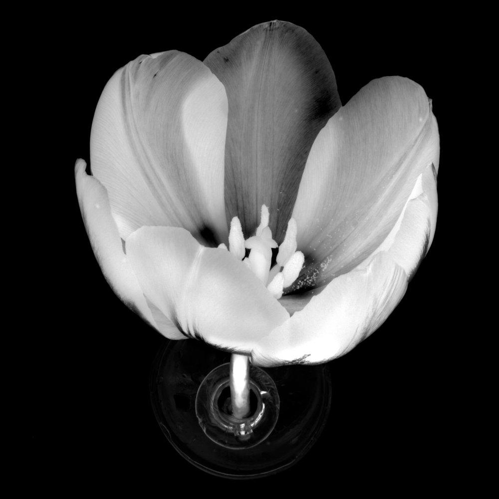 Flower: Tulip7b&w inv., 2017