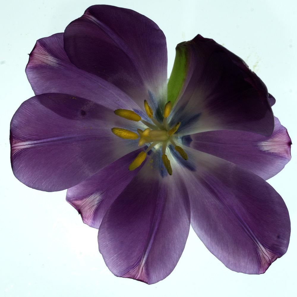 Flower: Tulip 8, 2017