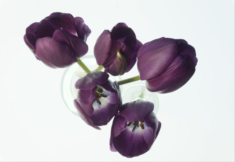 Flower: Tulips 5, 2017