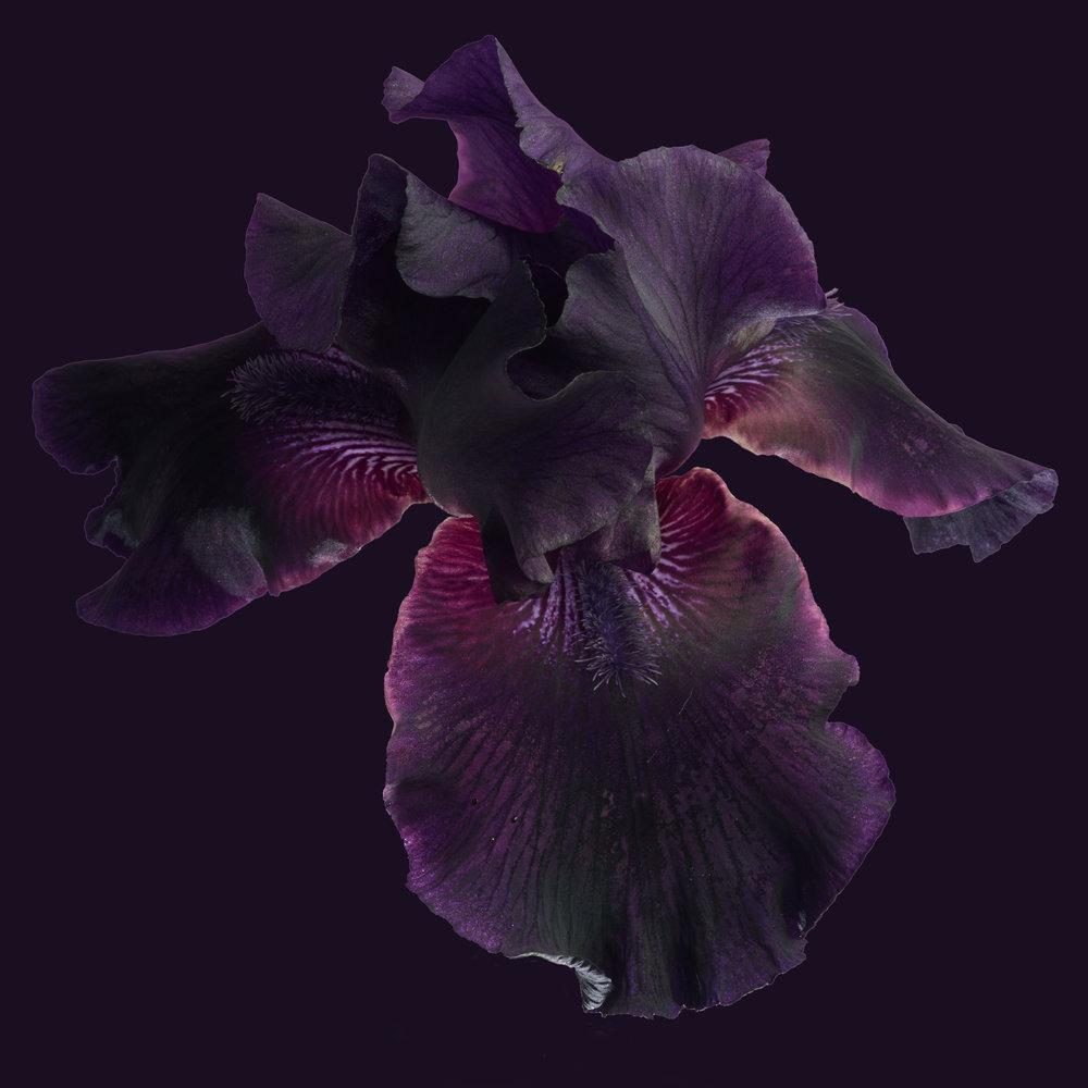 Flower-Purple-Iris-1-SQ-2017