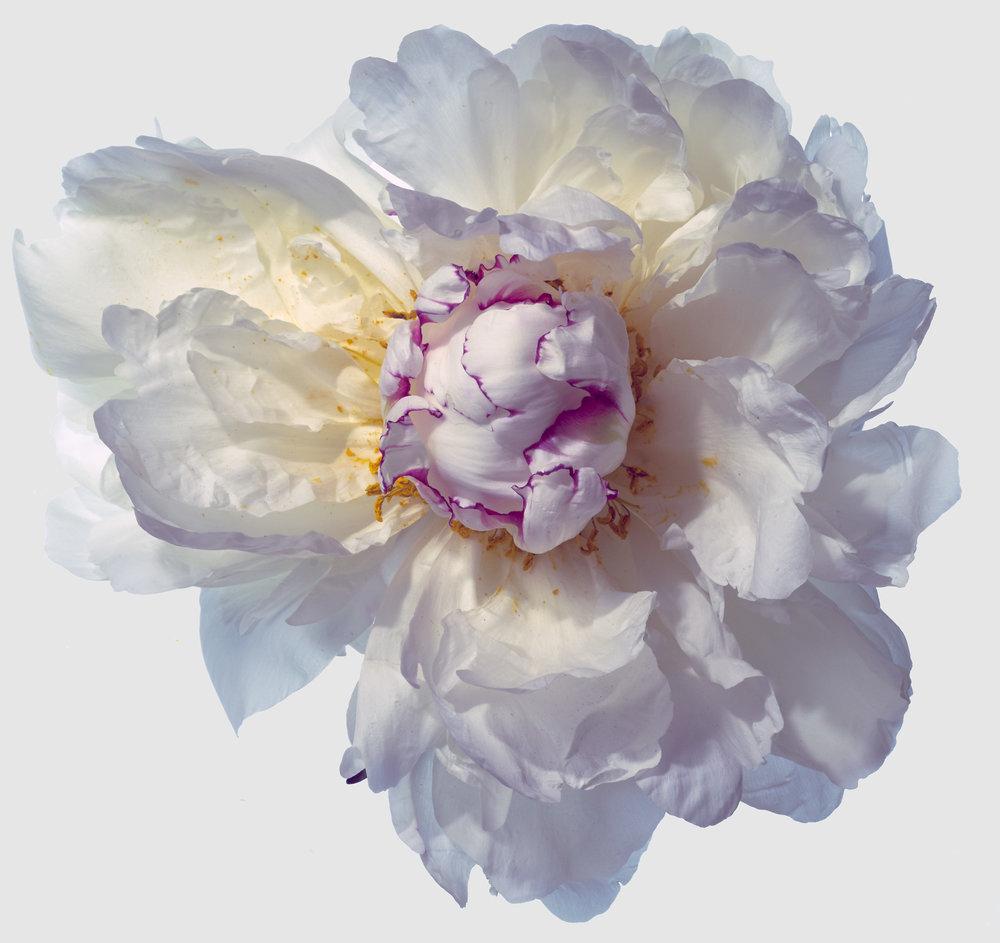 Flower-White-Peoni-6-2017