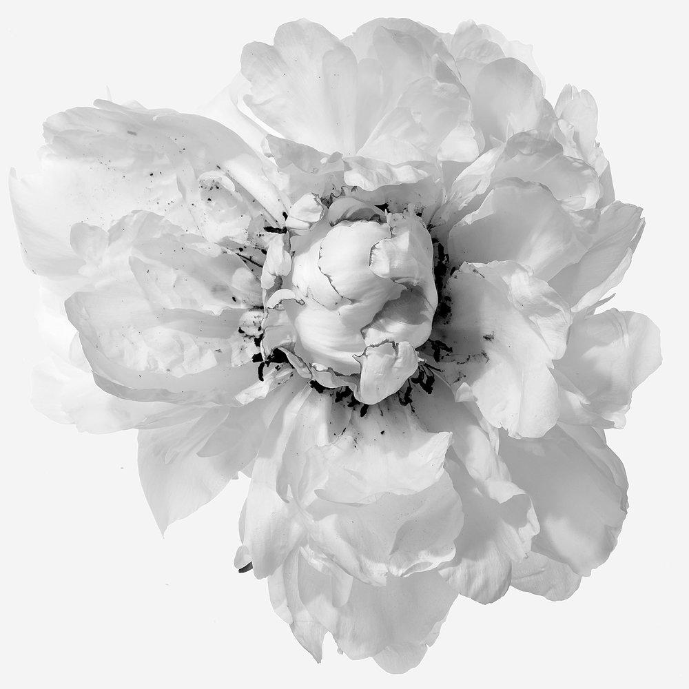 Flower-White-Peoni-6-B&W-2017