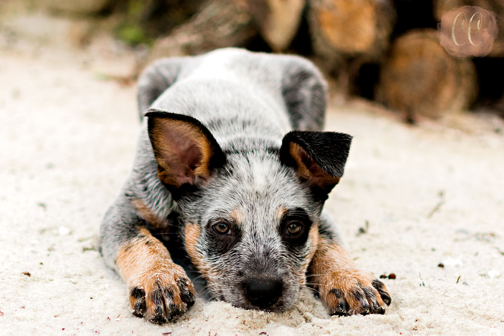 Puppy laying in the sand, Dog Photography, Carlie Chew Photography Tampa, Florida