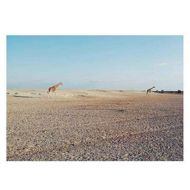 Just a couple of gallivanting giraffes