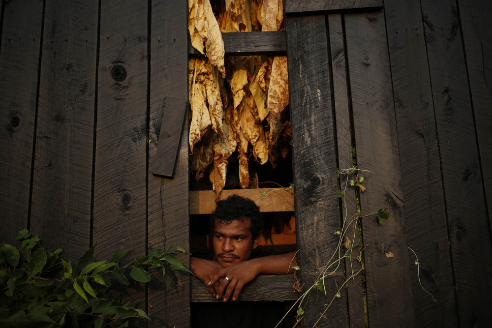 A migrant laborer takes a breather from hanging Burley tobacco in a barn in Shelby County, Kentucky.