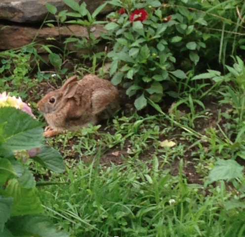 A rabbit in our garden.
