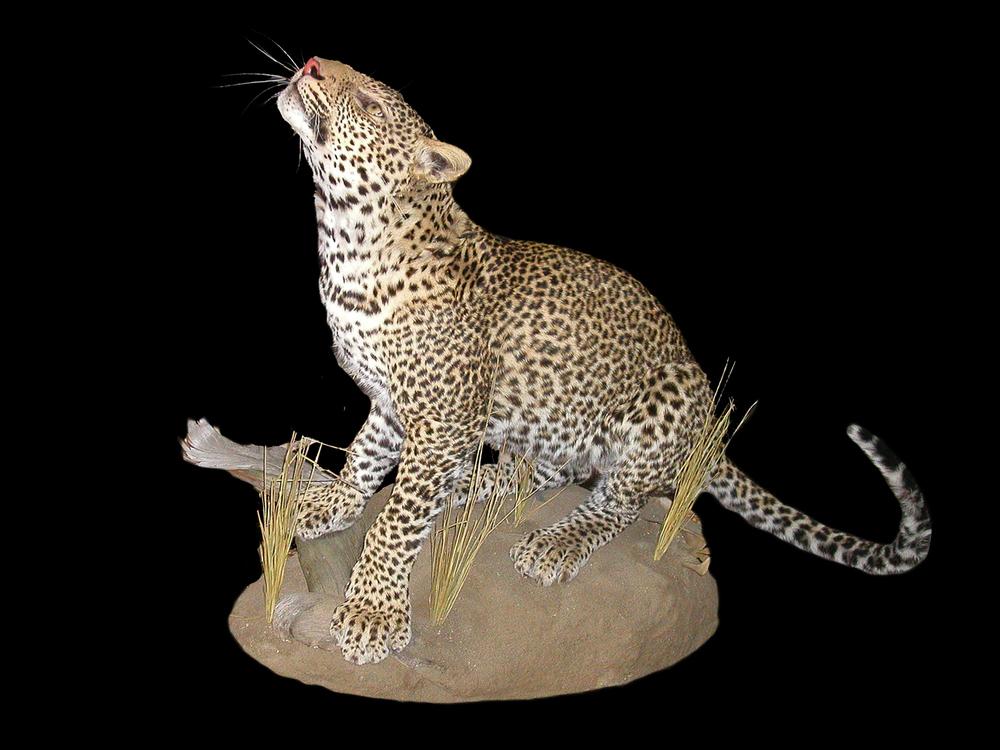 Leopard Gallery