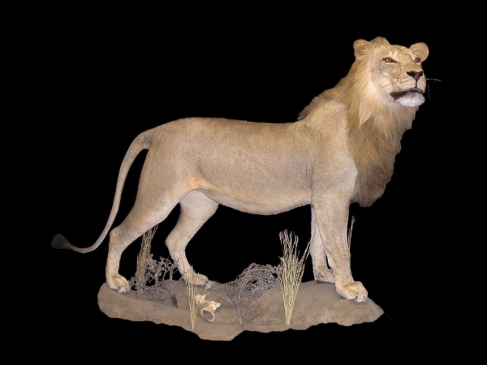 African Lion Gallery