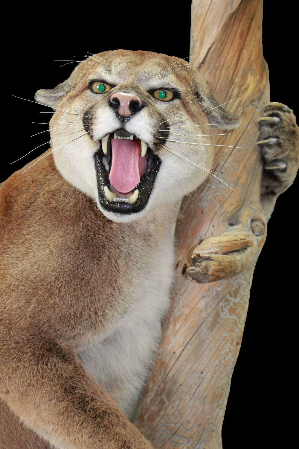Mountain Lion Gallery