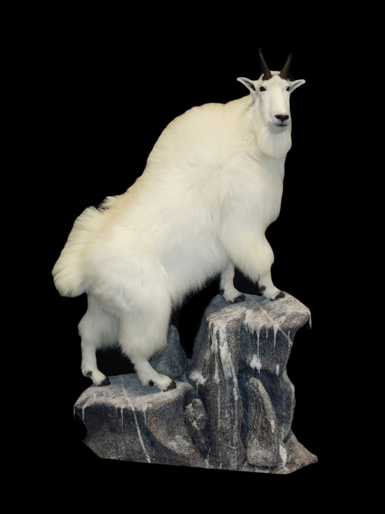 Mountain Goat 2.jpg