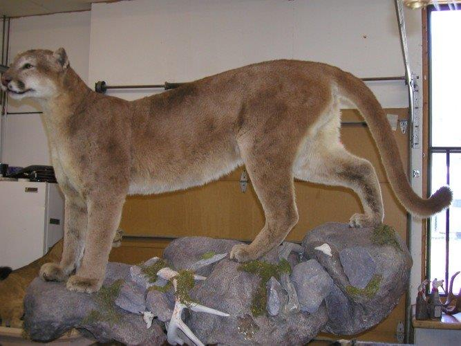 Mountain Lion Restored