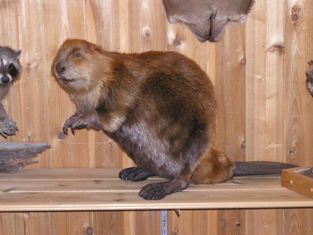 Restored Beaver