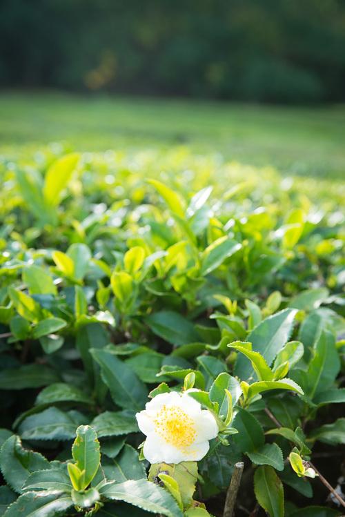 asal teh green tea teh hijau dan matcha camellia sinensis