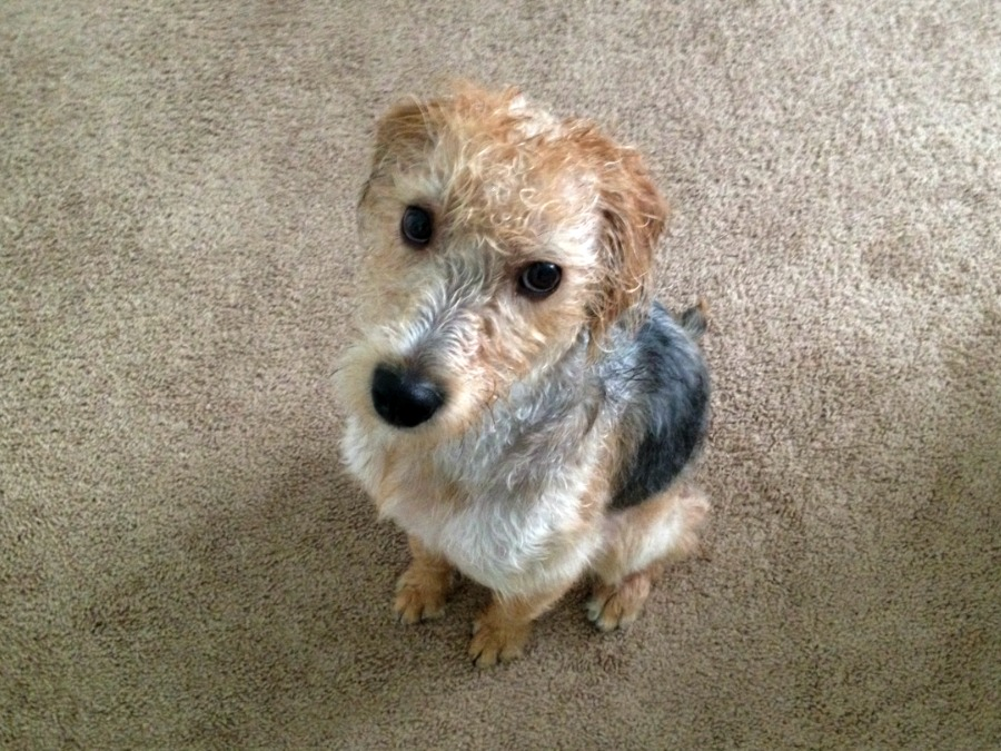 Wet Dog - Louie the Schnoodle