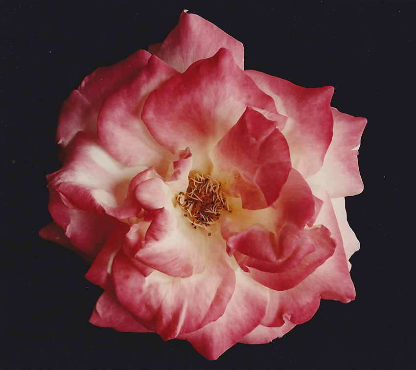 Rose Bloomed, 1995, chromogenic print, 122 x 152 cm. Collection: London Life