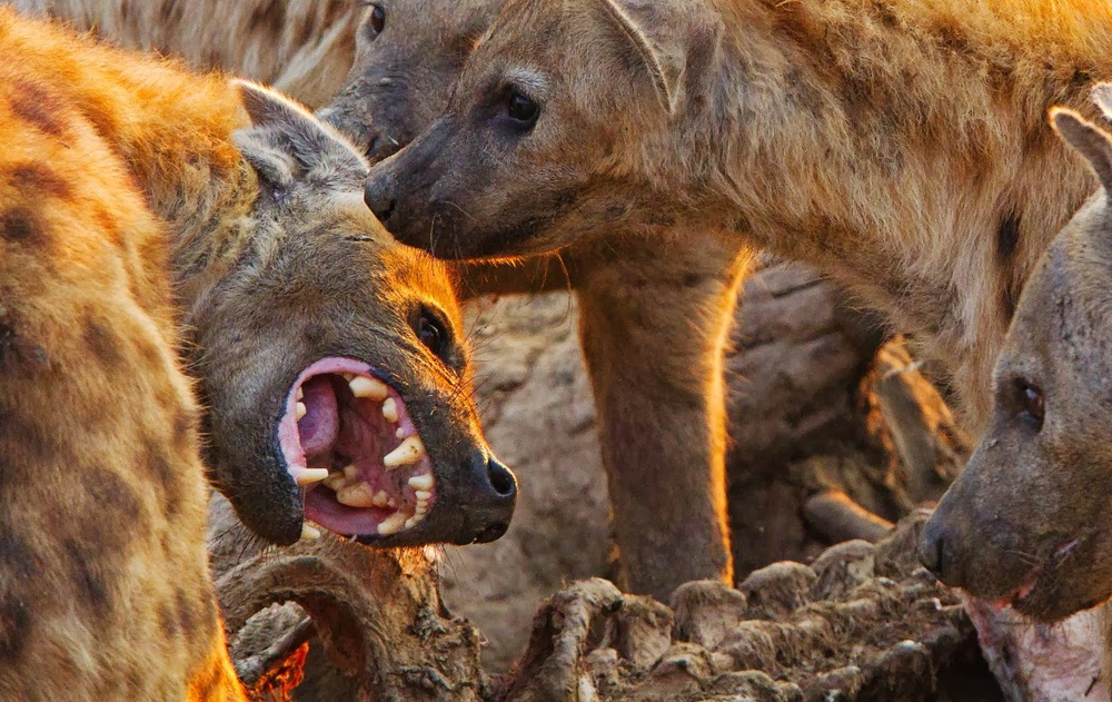 african+brown+hyenas+dangerous+animals.jpg