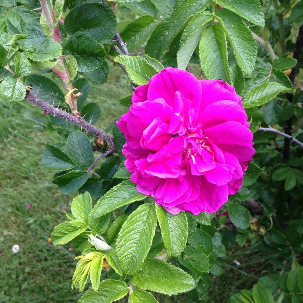 Roses in my garden.