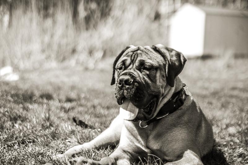 winthrop ma_bull mastiff_ma dogs_revere dogs_ belleisle_revere ma dogs (6 of 12).jpg