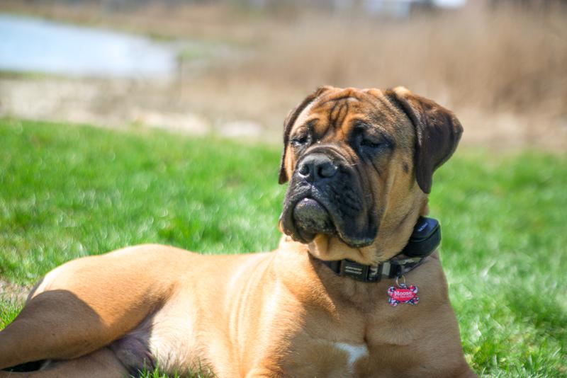 winthrop ma_bull mastiff_ma dogs_revere dogs_ belleisle_revere ma dogs (9 of 12).jpg