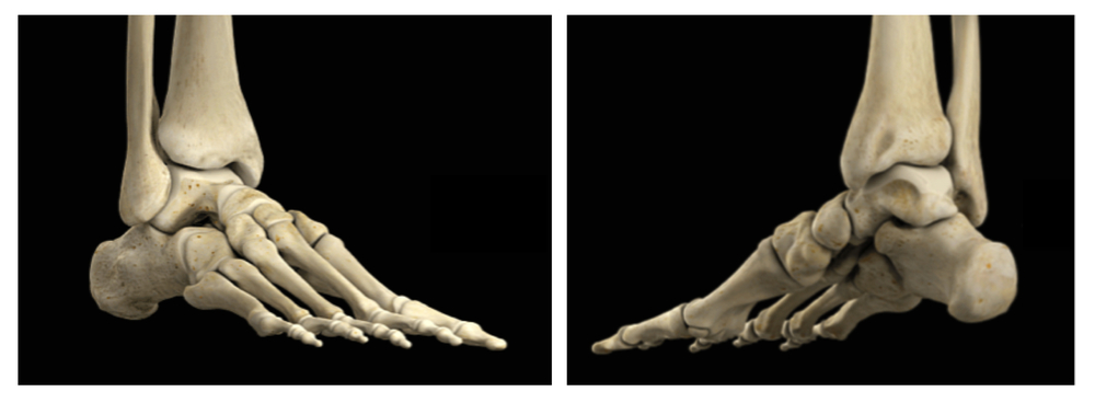 The dynamic and adaptable human foot contains 26 bones and 33 joints. Getting them moving well can help your turnout!