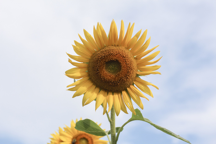 2018sunflowers5.jpg