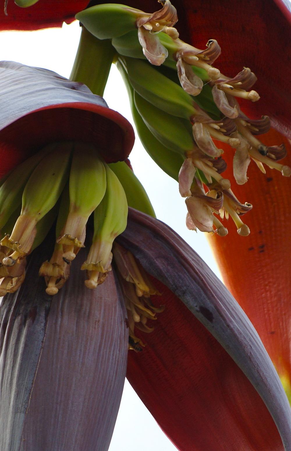 Banana Flower, Segada Philippines
