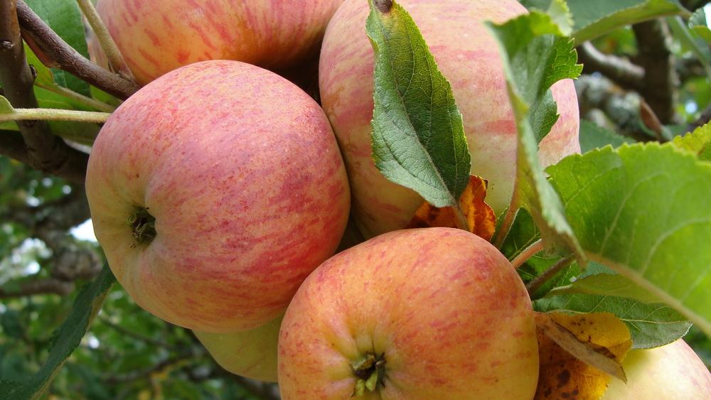 Cunningham Apples