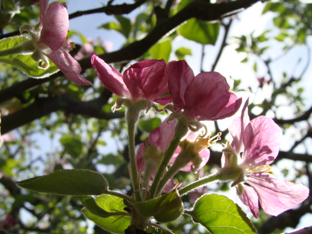 Pink Pearl Apple Blossom
